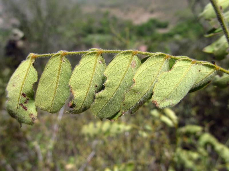 Senna pallida –Fabaceae