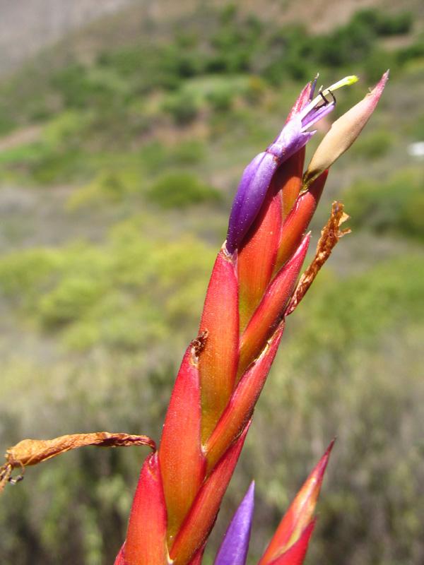 Tillandsia balbisiana –Bromeliaceae