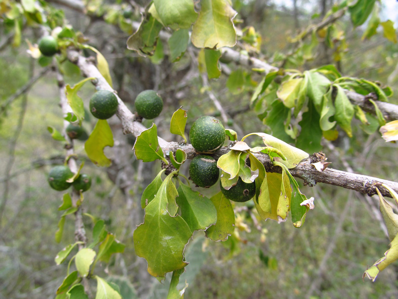 Randia aculeata –Rubiaceae