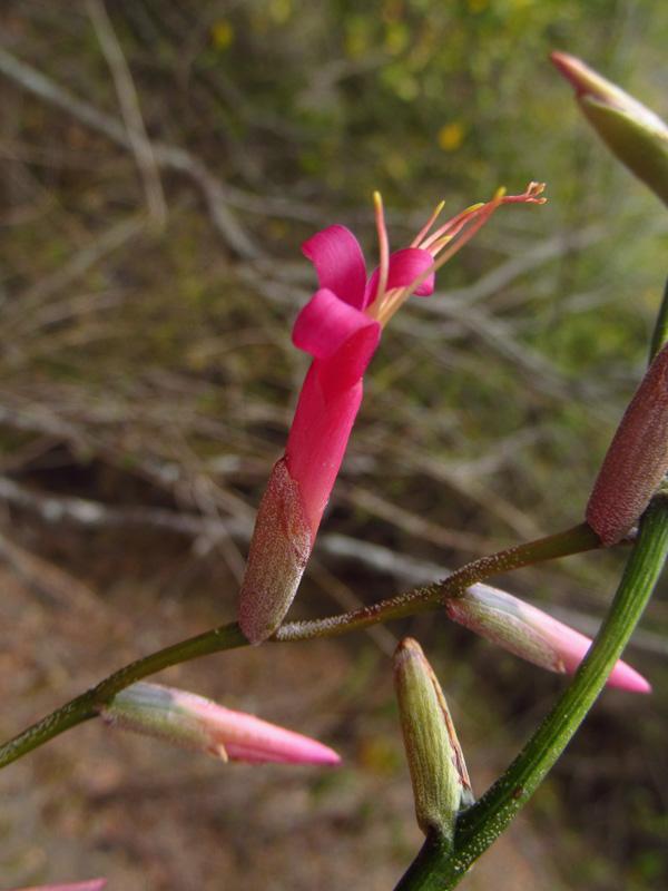 Tillandsia flexuosa –Bromeliaceae