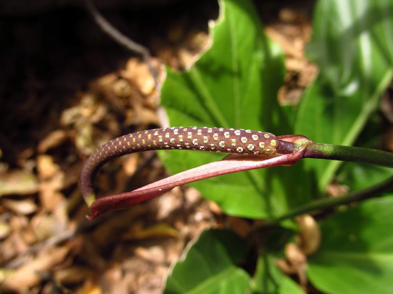 Anthurium fendleri Schott –Araceae
