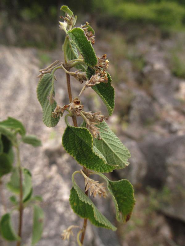 Lippia origanoides –Verbenaceae