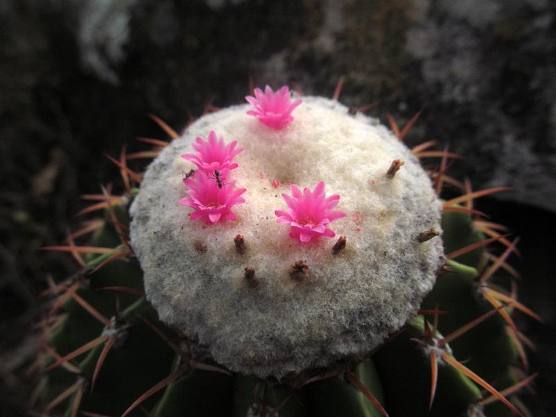 Melocactus schatzlii –Cactaceae