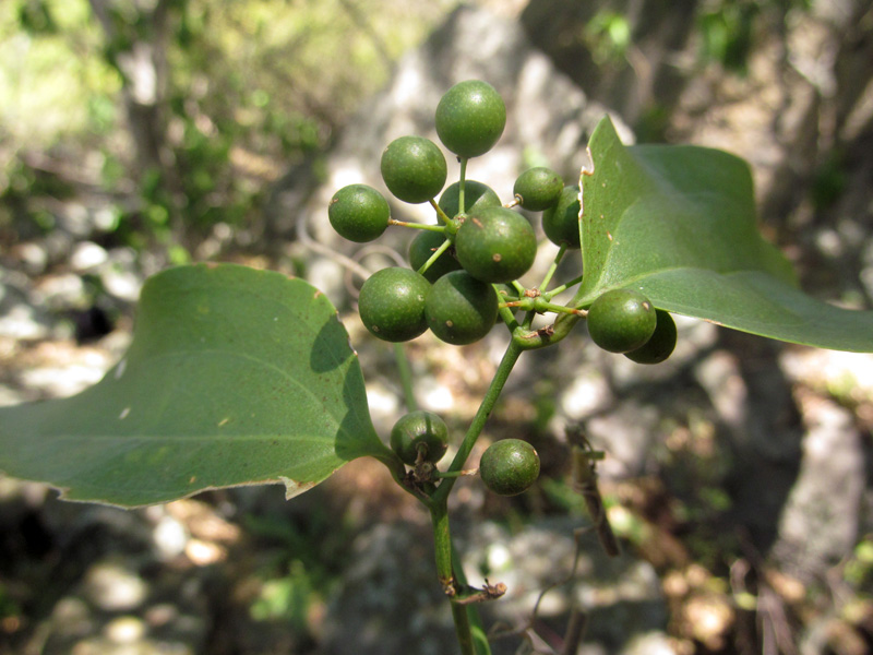 Smilax domingensis – Smilacaceae