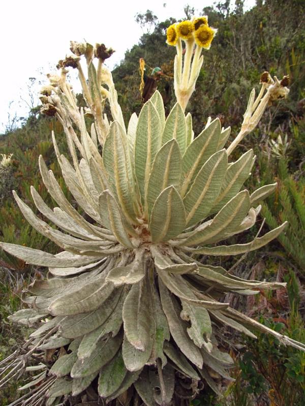 Espeletia barclayana Cuatrec. – Asteraceae(Endémica)