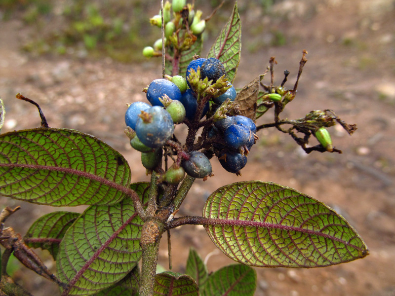 Palicourea aschersonianoides –Rubiaceae