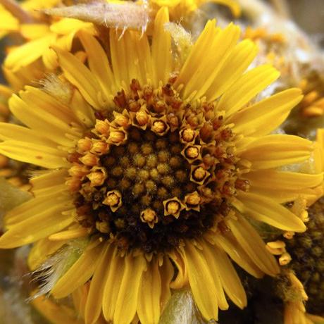 Espeletia congestiflora Cuatrec. – Asteraceae(Endémica)