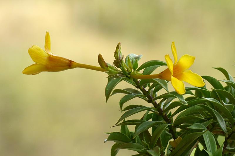 Allamanda cathartica L. –Apocynaceae