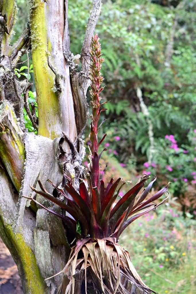 Tillandsia pastensis - Bromeliaceae