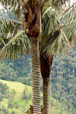 Ceroxylon quindiuense (H.Karst.) H.Wendl. - Arecaceae