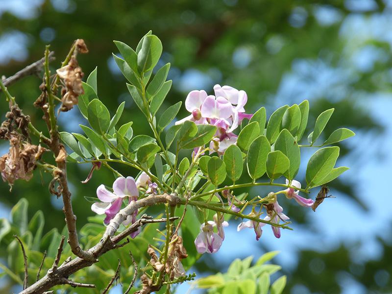 Gliricidia sepium –Fabaceae