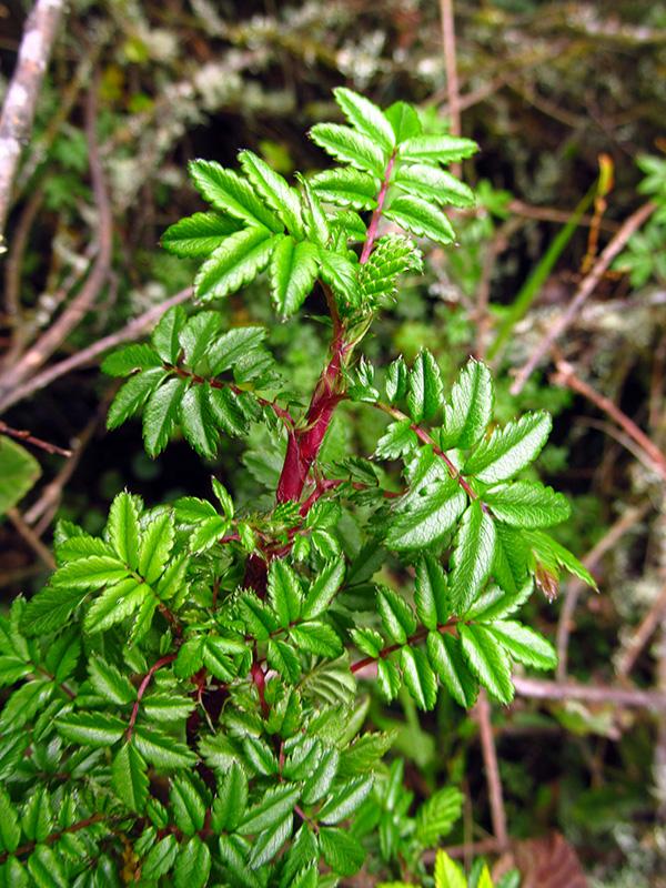 Acaena elongata –Rosaceae