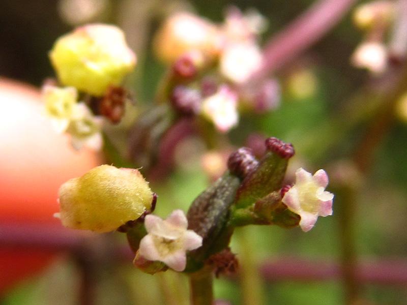 Valeriana clematitis –Caprifoliaceae