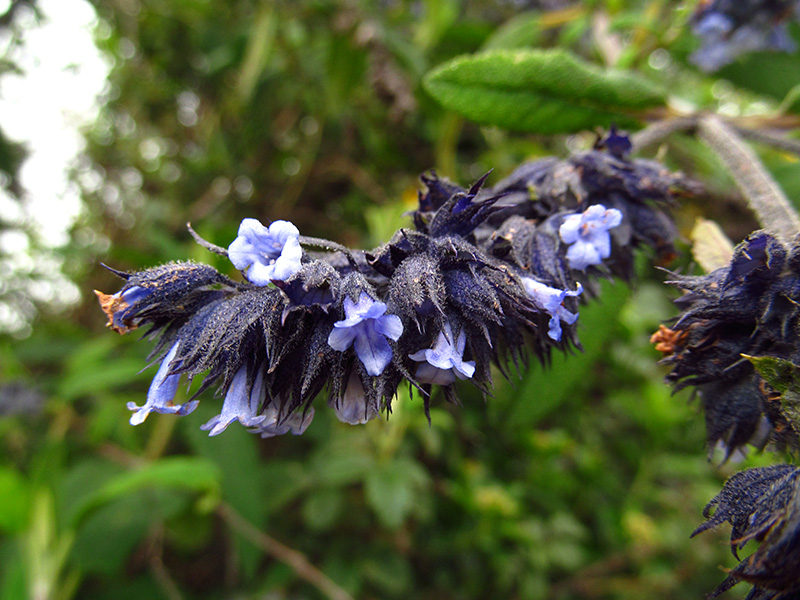 Lepechinia salviifolia –Lamiaceae