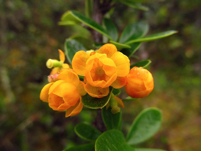 Berberis rigidifolia –Berberidaceae