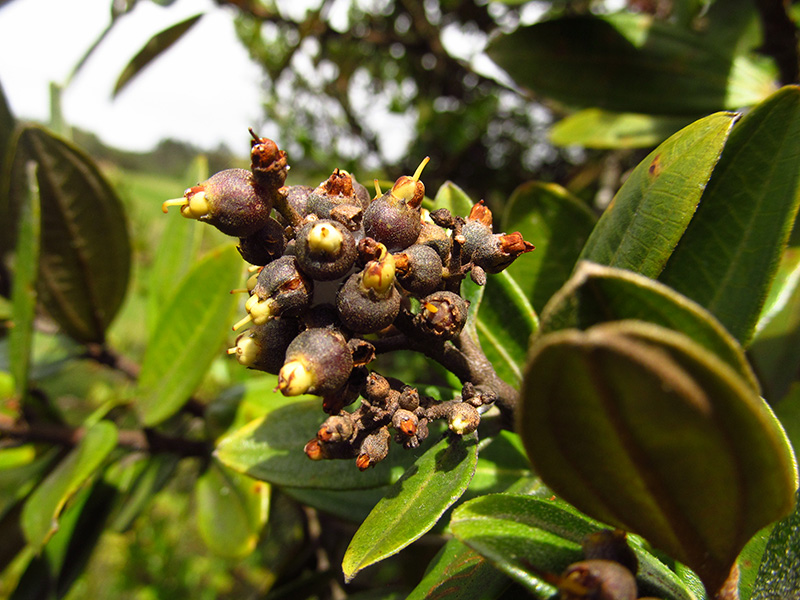 Miconia squamulosa –Melastomataceae
