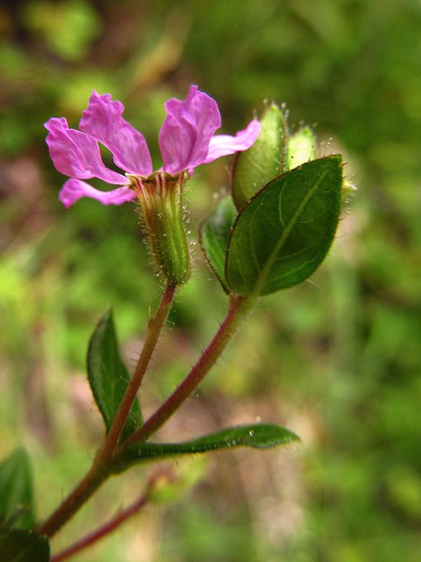Cuphea ciliata –Lythraceae