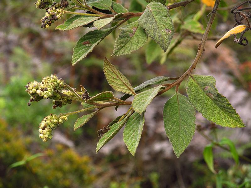 Varronia cylindrostachya Ruiz & Pav. –Cordiaceae