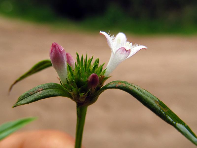 Galianthe bogotensis –Rubiaceae