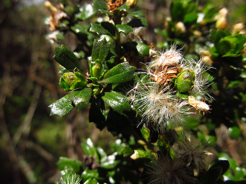Baccharis tricuneata (L. fil.) Pers. –Asteraceae