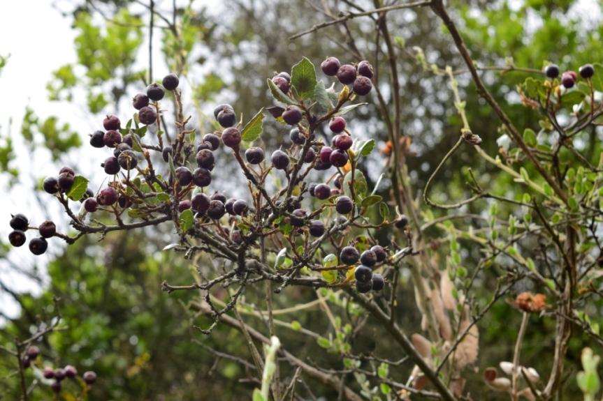 Hesperomeles goudotiana - Rosaceae