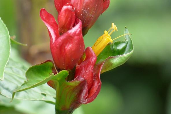 Sanchezia oblonga Ruiz & Pav. - Acanthaceae
