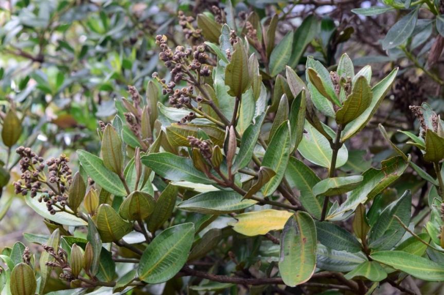 Miconia squamulosa - Melastomataceae