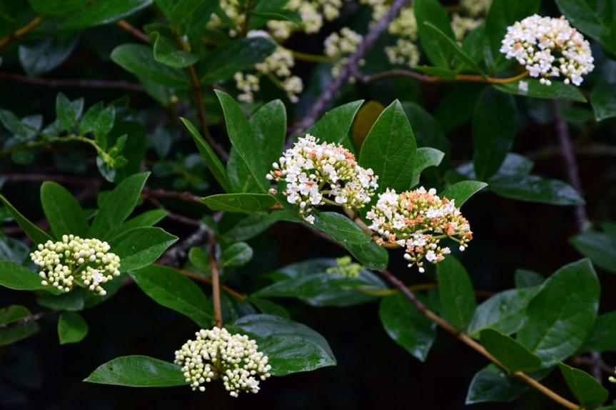 Viburnum triphyllum - Adoxaceae
