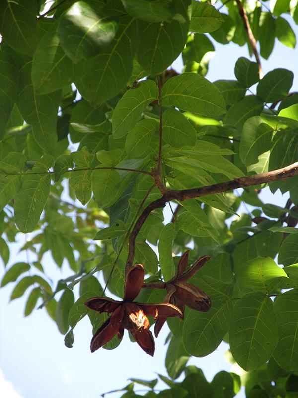 Cedrela odorata –Meliaceae