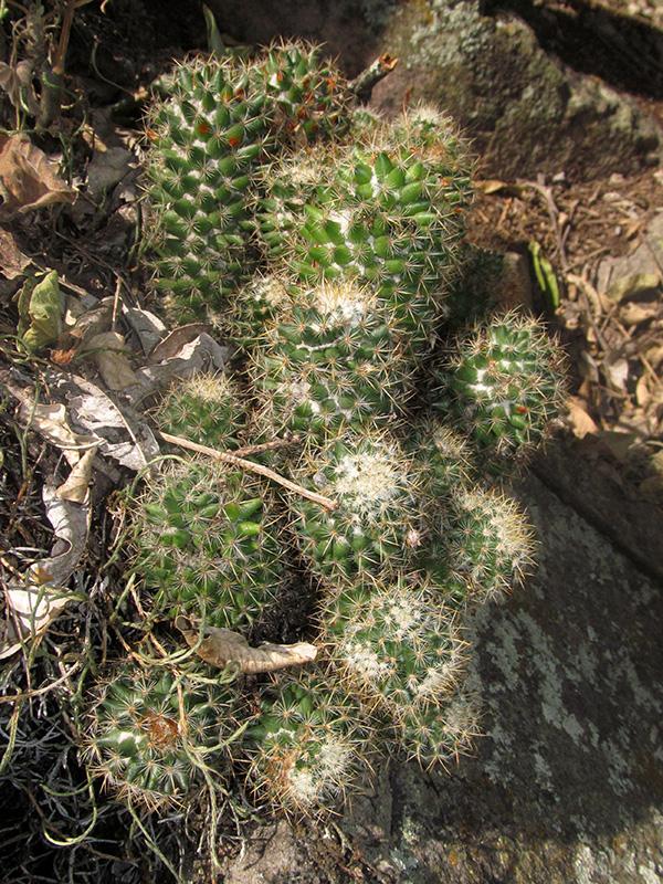 Mammillaria mammillaris –Cactaceae