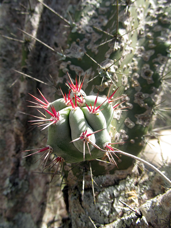 Stenocereus griseus (Haw.) Buxb. –Cactaceae