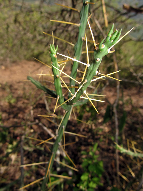 Cylindropuntia caribaea –Cactaceae
