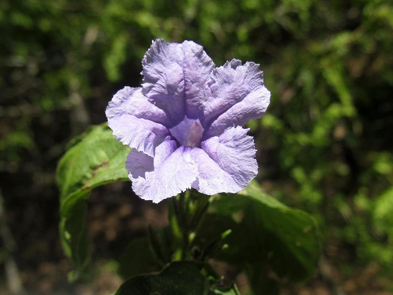 Ruellia geminiflora Kunth –Acanthaceae