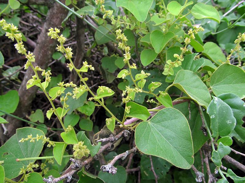 Cissampelos pareira –Menispermaceae