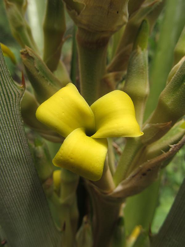 Bromelia karatas –Bromeliaceae