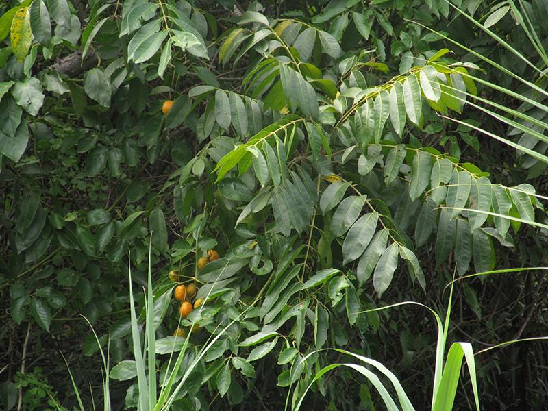 Spondias mombin L. –Anacardiaceae