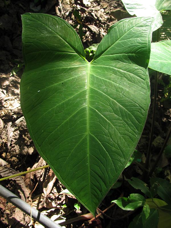 Alocasia macrorrhizos (L.) G.Don –Araceae