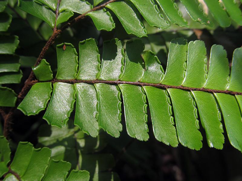 Adiantum tetraphyllum –Pteridaceae