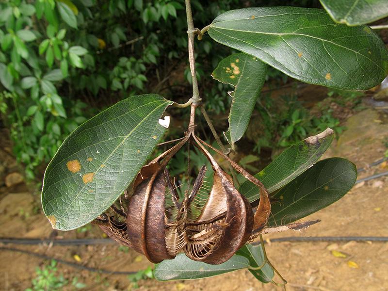 Aristolochia maxima Jacq. – Aristolochiaceae