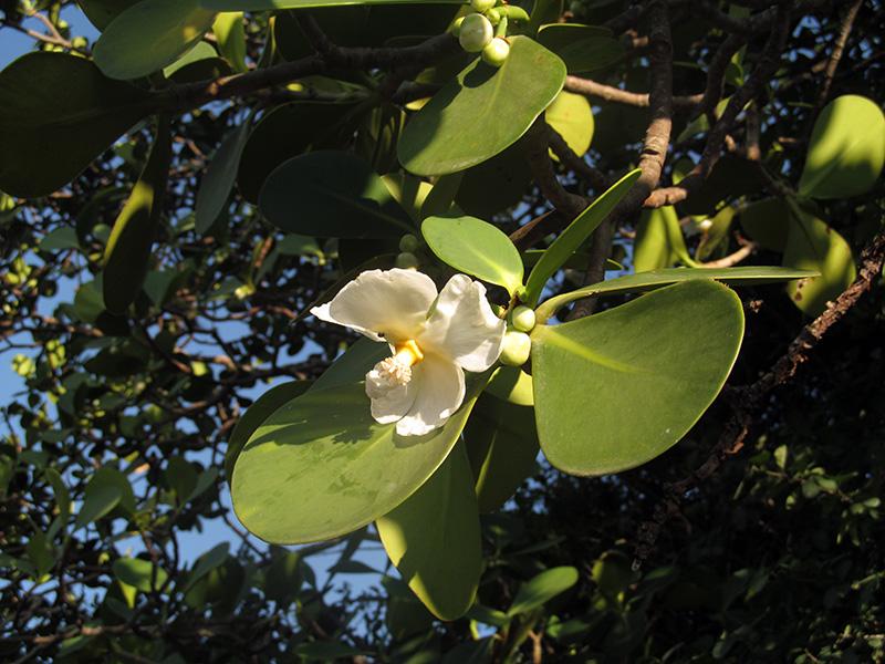 Clusia celiae –Clusiaceae