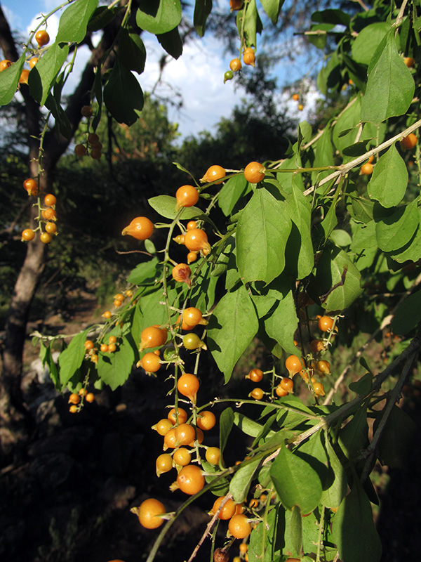 Duranta erecta –Verbenaceae