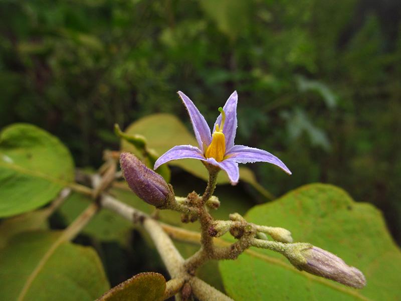 Solanum ovalifolium –Solanaceae