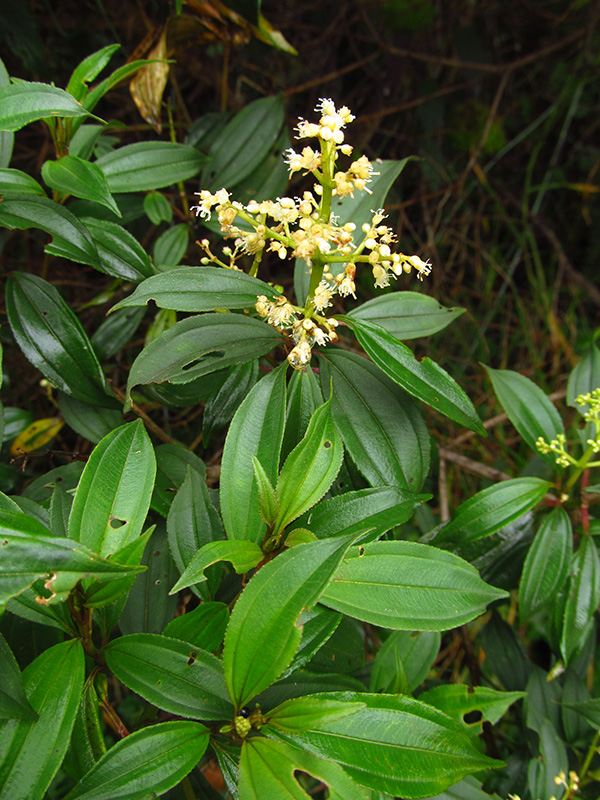 Miconia theaezans –Melastomataceae