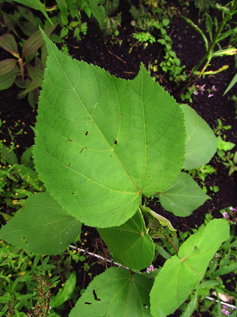 Heliocarpus americanus –Malvaceae