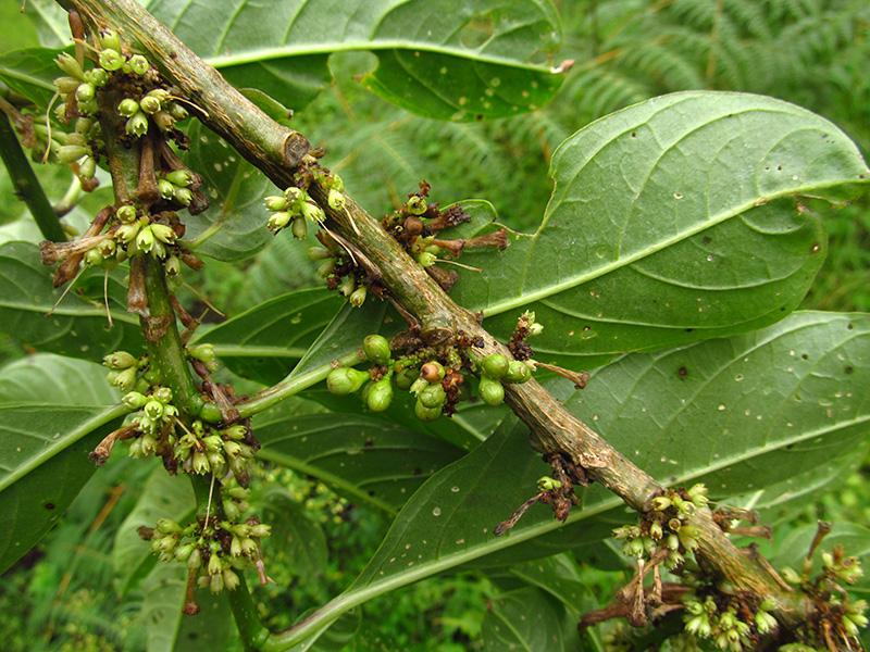 Cestrum ochraceum –Solanaceae
