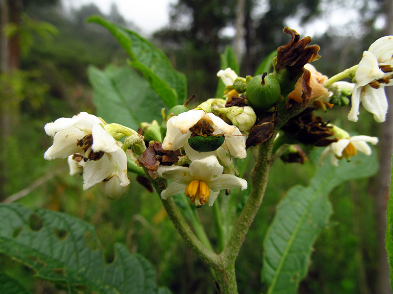 Solanum oblongifolium –Solanaceae