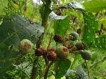 Solanum oblongifolium - Solanaceae