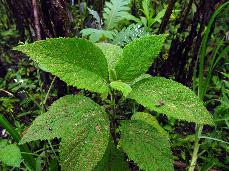 Varronia spinescens (L.) Borhidi –Cordiaceae