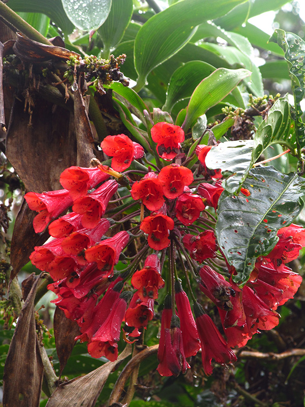 Bomarea patinii Baker – Alstroemeriaceae