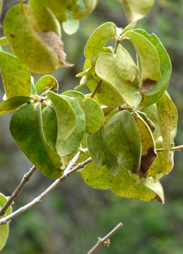 Guapira pubescens –Nyctaginaceae